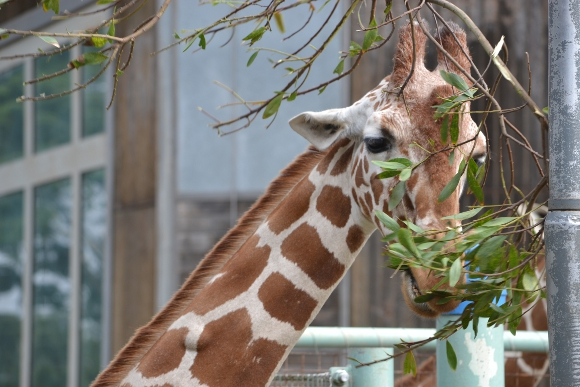 InquisitiveGiraffe-580